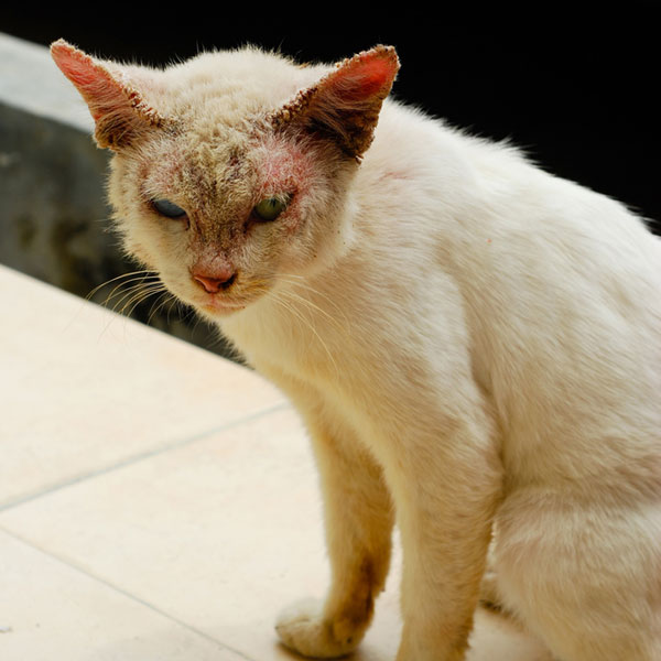 Common+Cat+Skin+Conditions What Is Ringworm and What Are Its Symptoms ...