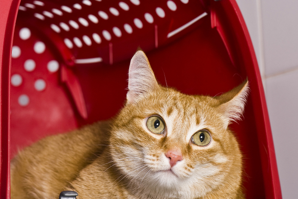 An orange ginger tabby in a red carrier. Photography by Kachalkina Veronika / Shutterstock.