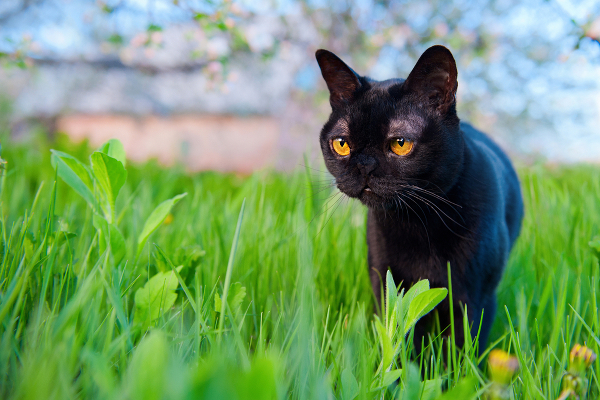 A Bombay cat with amber-colored eyes.