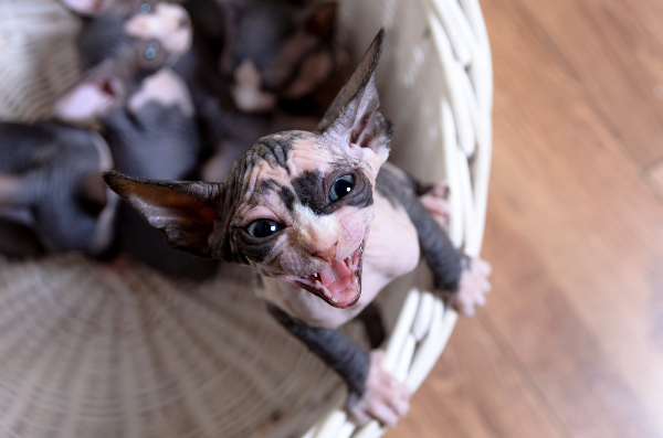 Sphynx kittens meowing.