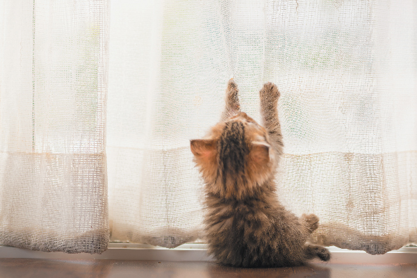 A naughty kitten scratching at curtains.