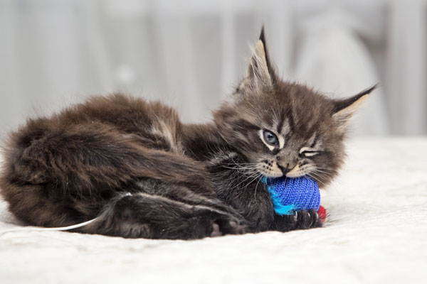A kitten playing with a toy.