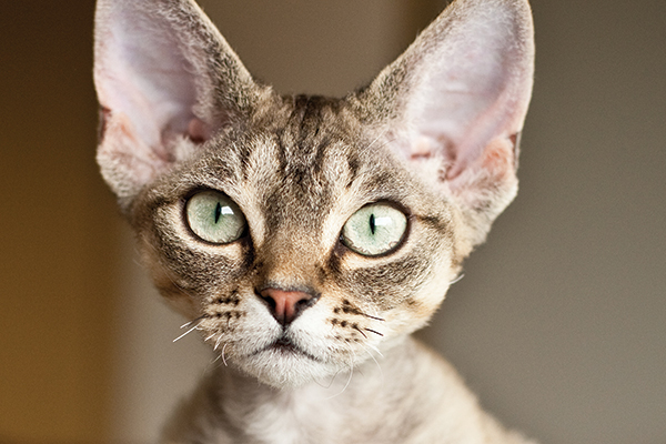 A Devon Rex cat.