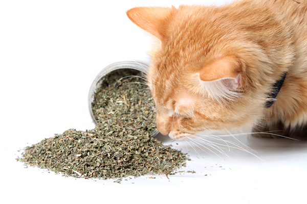 An orange cat sniffing catnip.