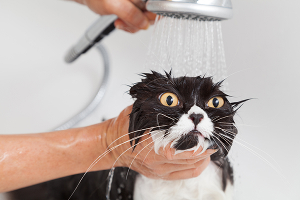 A black and white cat clearly not enjoying his bath.
