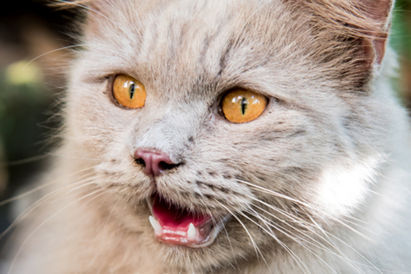 A gray cat with yellow eyes with his mouth open.