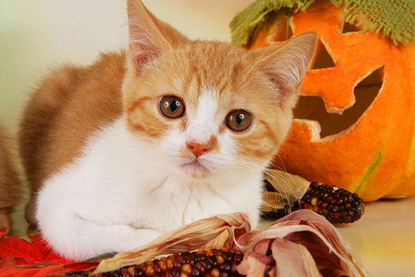 An orange and white cat with Halloween decor.