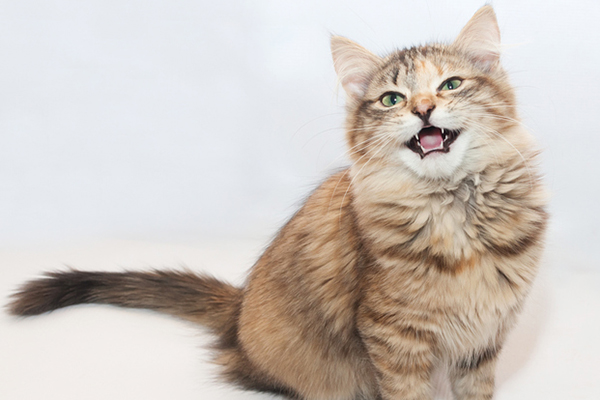 Cat with mouth open — trilling, meowing or making another kitty sound.