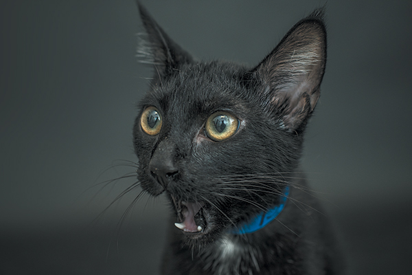 Eloise for Black Cat Awareness Month. Photography by Casey Elise Christopher.