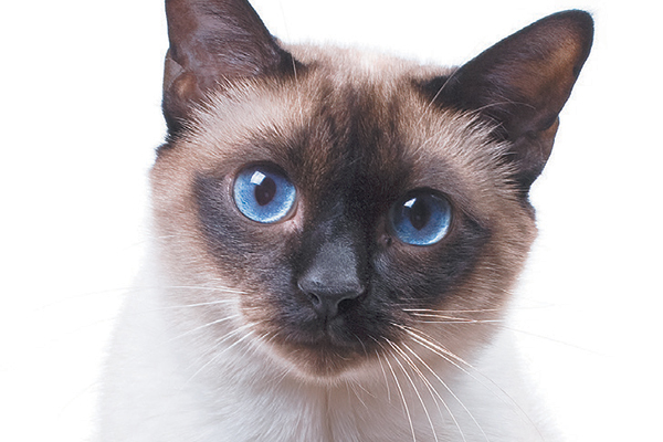 A Siamese cat. Photography ©studdio22comua   Thinkstock.