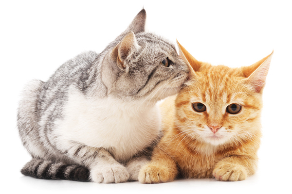 A gray cat kissing an orange cat.