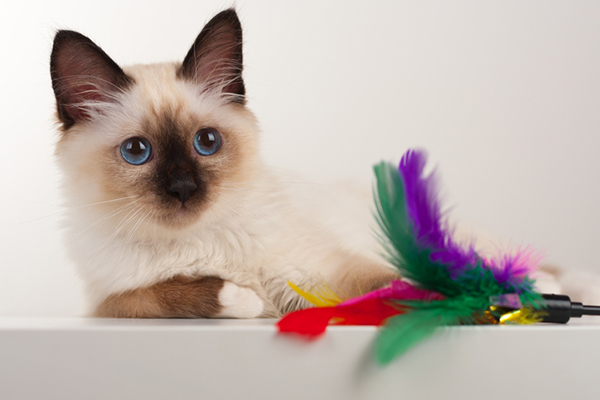 A seal point Birman kitten with blue eyes and a toy.
