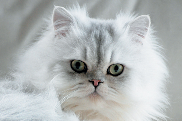 A shaded Persian cat.