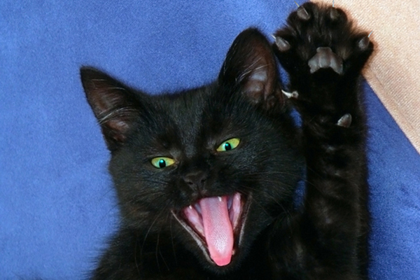 A black cat hissing, claws out, being aggressive.