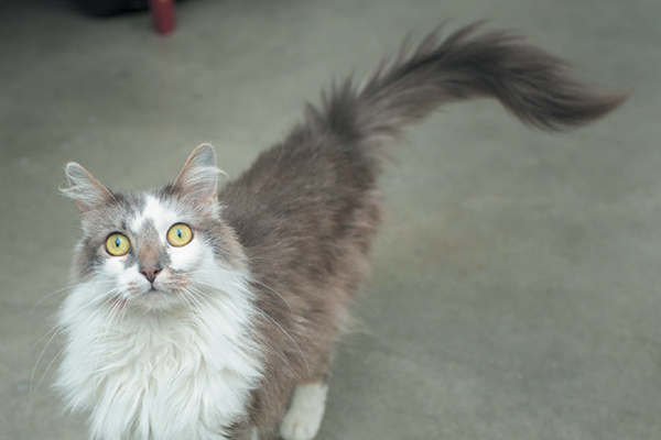A gray cat with a whipping tail.