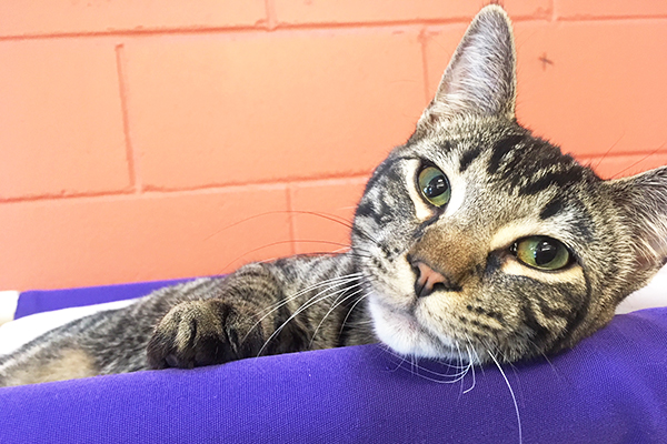 Mackerel Tabby Cat, McGee.