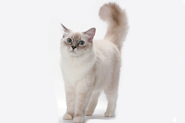 Ragdoll 3 - The Ragdoll Cat —All About This Fascinating Cat Breed