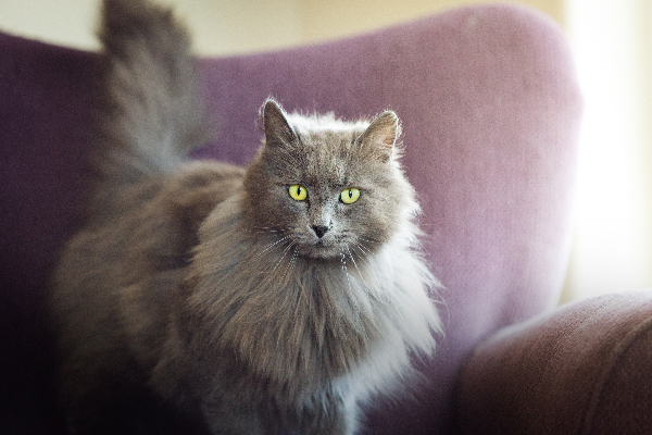 A gray cat staring.