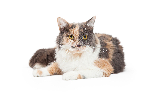 A dilute calico.