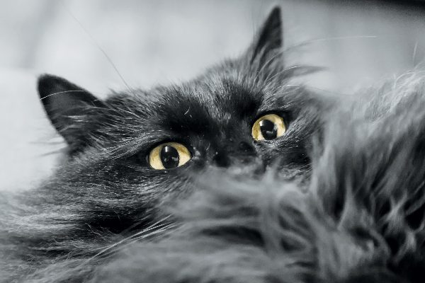 A black cat peering over the edge of black faux fur blanket or fabric.