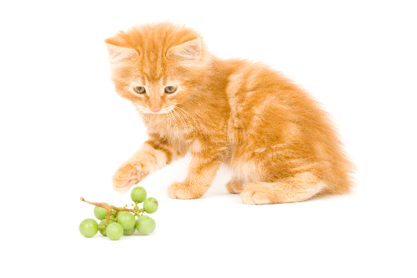 An orange tabby cat with grapes.