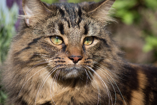 A brown tabby cat closeup.