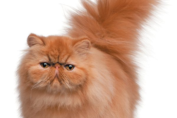 A Persian kitten was one of the prize winners in 1871 at the world's first cat show, held at the Crystal Palace in London. At the time, they were listed as French Persian (Angora) cats. Photography ©GlobalP | Getty Images.