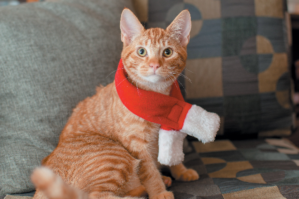 Orange tabby cat in a Santa scarf.