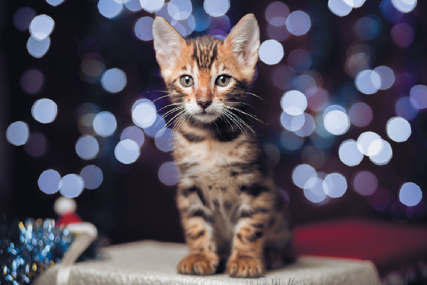 A tabby cat against lights backdrop.