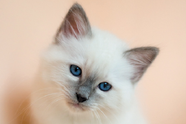 Birman cat close up.