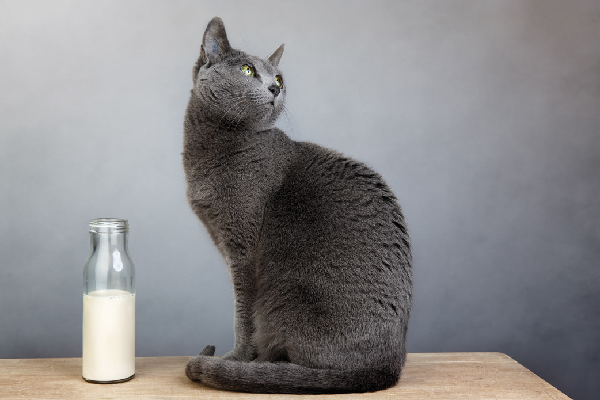 A gray cat looking away, glass of milk.