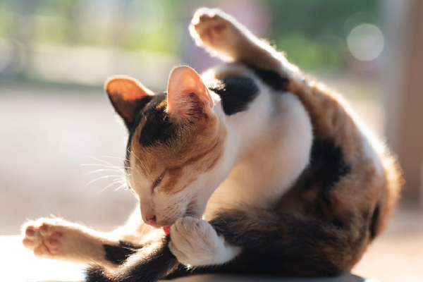 A cat cleaning herself or giving herself a bath.