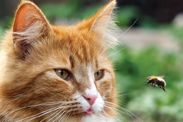 An orange ginger tabby cat with a bee.