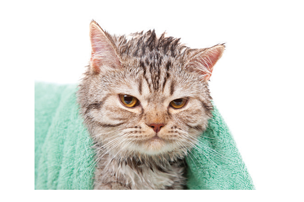 Cat drying off after a bath. Photography by: ©W1zzard | Getty Images