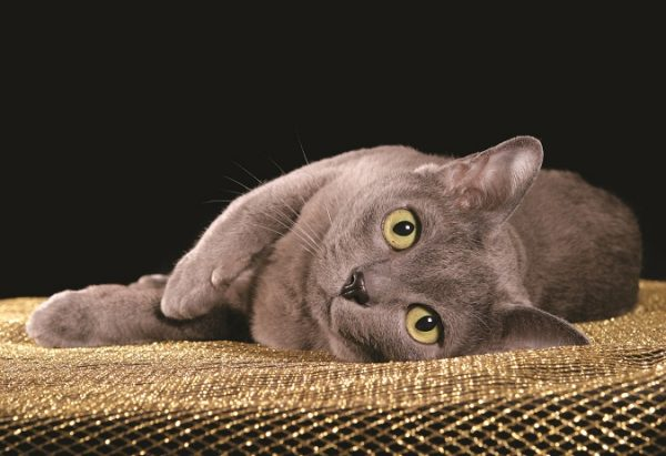 Korat green eyes