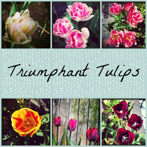 Triumphant Tulips