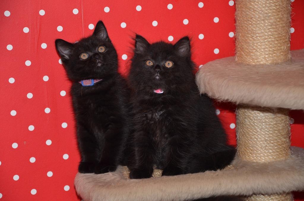 Kittens van Sienemien en Mcflurry (geboren 23/06)