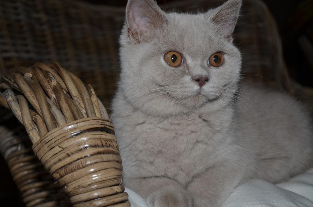 Onze nieuwe jonge lilac kater: