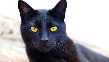 https://i1.wp.com/www.cattish.nl/wp-content/uploads/2015/04/black_cat_by_very_free_stock-d8f6ulg.jpg?resize=350%2C200&ssl=1