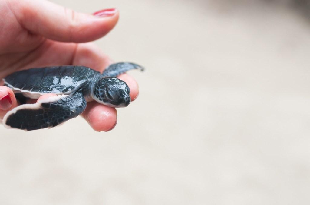 hatchling baby turtle tulum