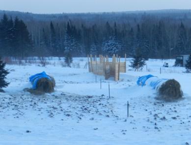 Winter Hay Bale Grazing Part 3 Of 4 Cattle Starter