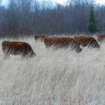 10 Pregnant Heifers and One Long Snowy Winter