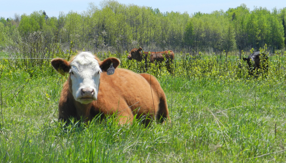 That Cow is Gonna Calve Soon! - Signs of the Onset of Labor - Cattle