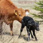 That Cow is Gonna Calve Soon! – Signs of the Onset of Labor