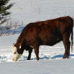 Snow as a Winter Cattle Water Source