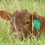 Estimating Calf Birth Weight