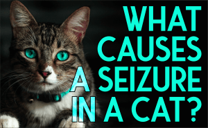 What Causes a Seizure in a Cat?