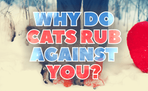 Why Do Cats Rub Against You?