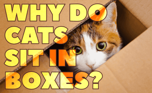 Why Do Cats Sit in Boxes?