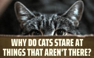 Why Do Cats Stare At Things That Aren't There?